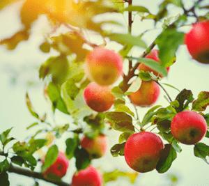 punaisia omenia puussa