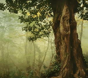 vanha puu metsässä